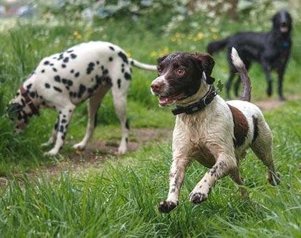 Springer Spaniel on a dog walk in Haxby