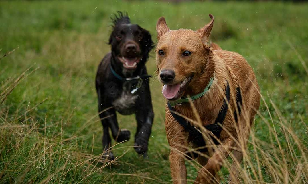 How to choose a reliable dog walker
