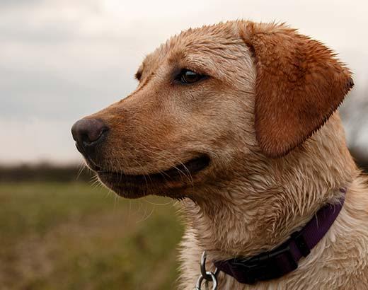 Golden labrador on a dog walk in York